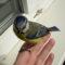 Синица залетела в дом (квартиру): к чему птица залетает в окно – приметы